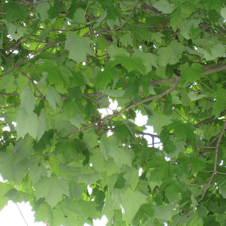 Érable rouge (Acer rubrum) 'Columnare'