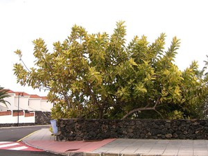 Multiplication du <em>Ficus elastica</em>