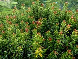 Culture et entretien du <em>Ficus elastica</em>