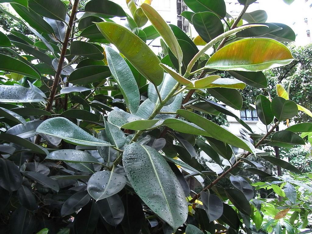 Ficus elastica rempoter et bouturer ooreka for Ficus plante interieur