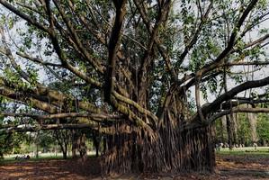 Plantation du <em>Ficus elastica</em>