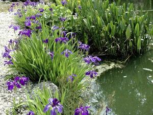 Plantation de l'iris