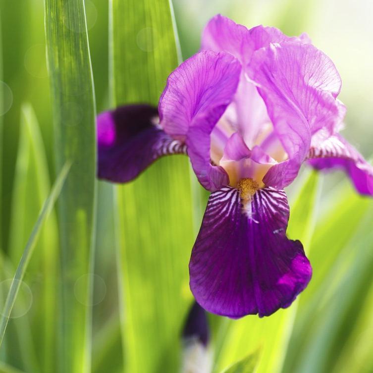 Iris barbus de grande taille. 'Nelly Tardivier'
