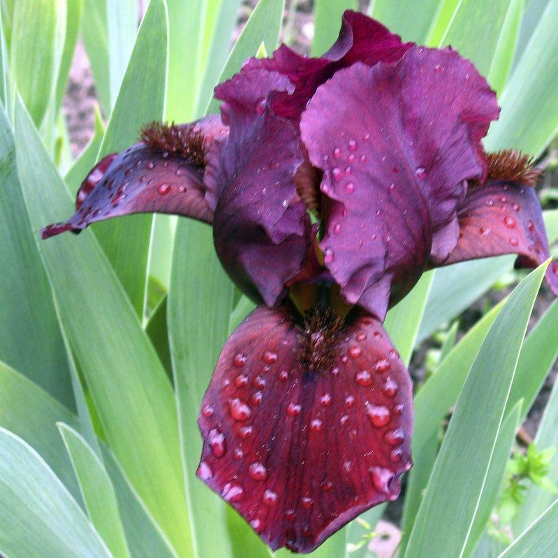 Iris barbus nains 'Cherry Garden'