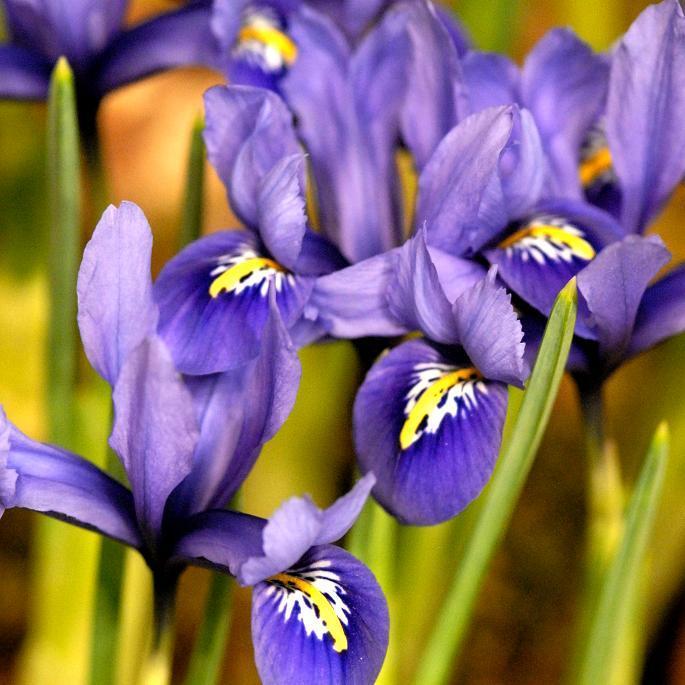 Iris bulbeux Iris reticulata
