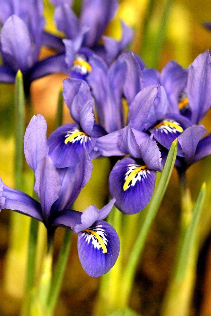 quand planter les iris bulbeux. Black Bedroom Furniture Sets. Home Design Ideas