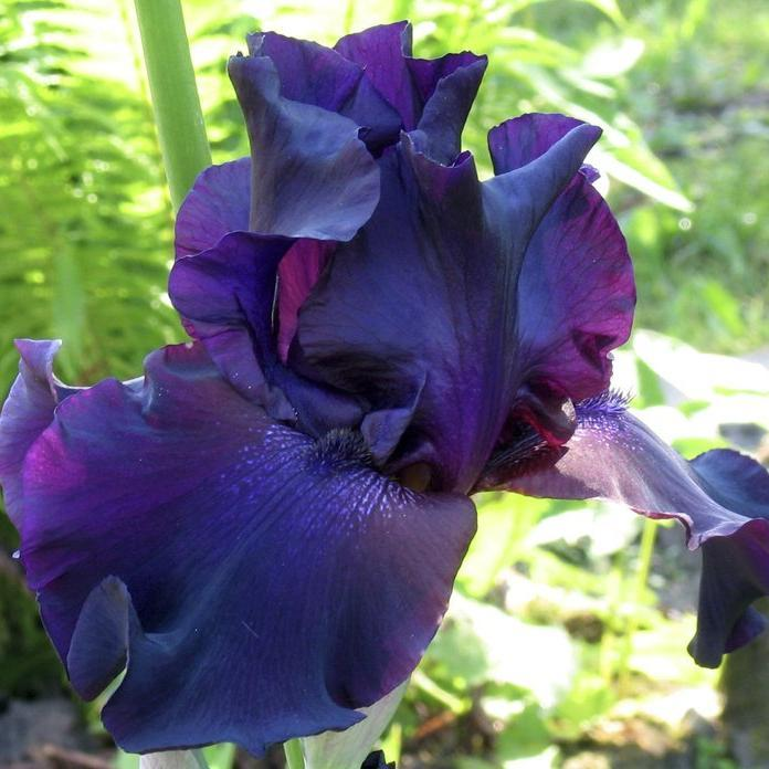 Iris barbus de grande taille. 'Superstition'