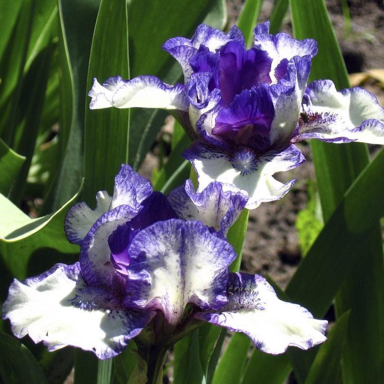 Iris barbus intermédiaires 'Rare Edition'