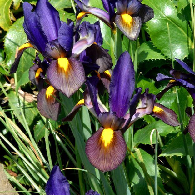 Iris bulbeux Iris de Hollande (Iris x hollandica)
