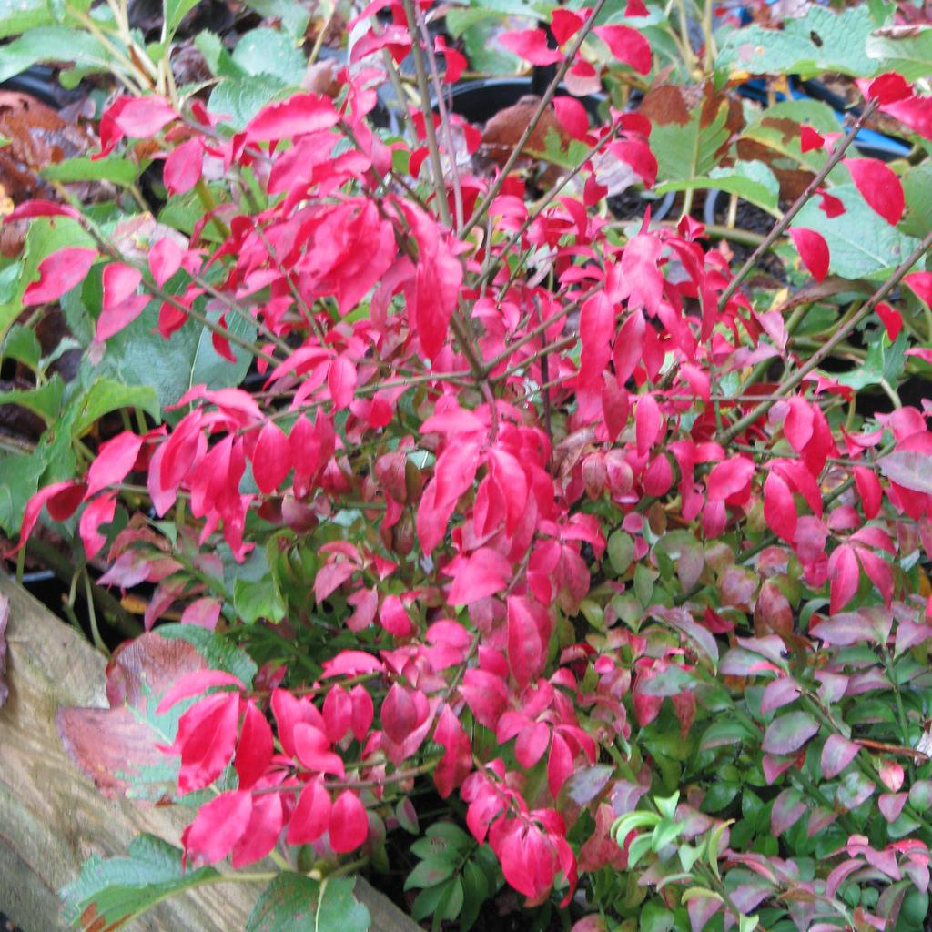 Euonymus alatus planter et entretenir ooreka for Euonymus alatus