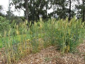 Semis du blé