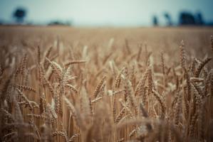 Culture et entretien du blé