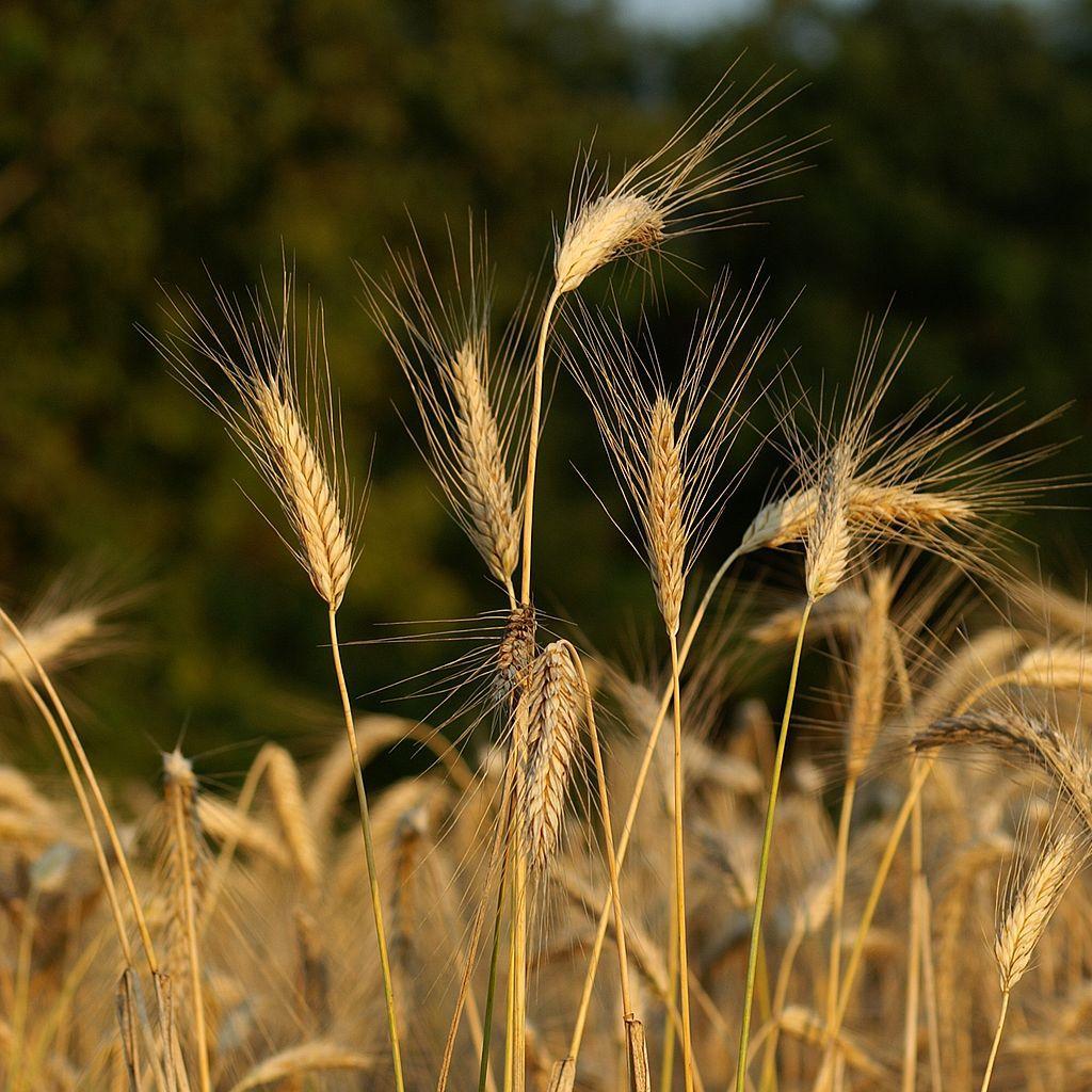 Blé de printemps Blé de Galice, blé de Pologne (Triticum polonicum)
