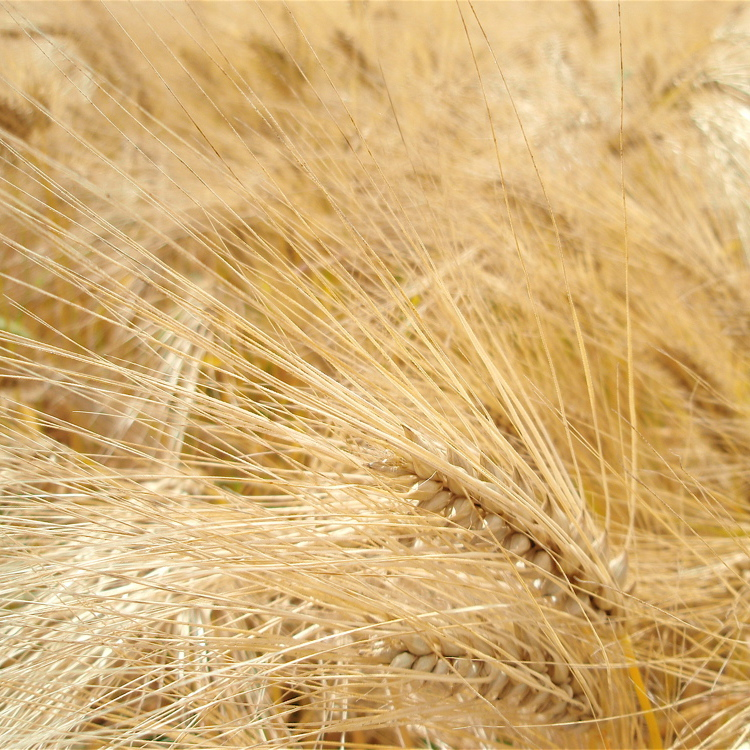 Blé d'hiver et de printemps Touzelle, blé commun (Triticum sativum)