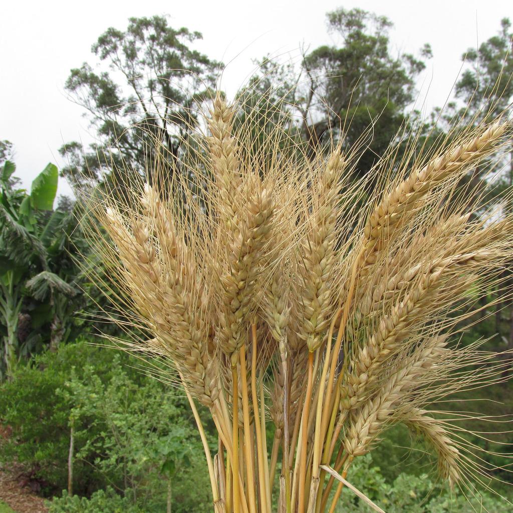 Blé d'hiver Froment, blé tendre (Triticum aestivum)