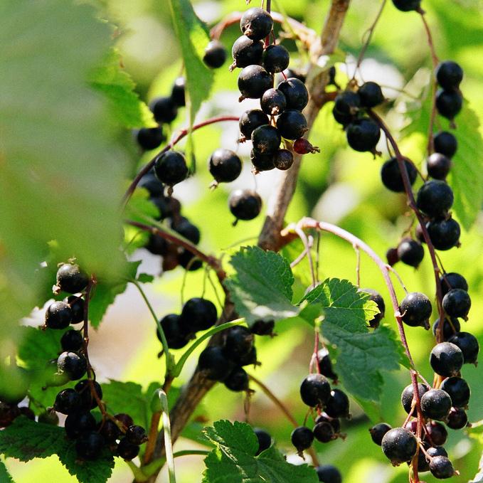 Cassis, cassissier (Ribes nigrum) 'Andega'
