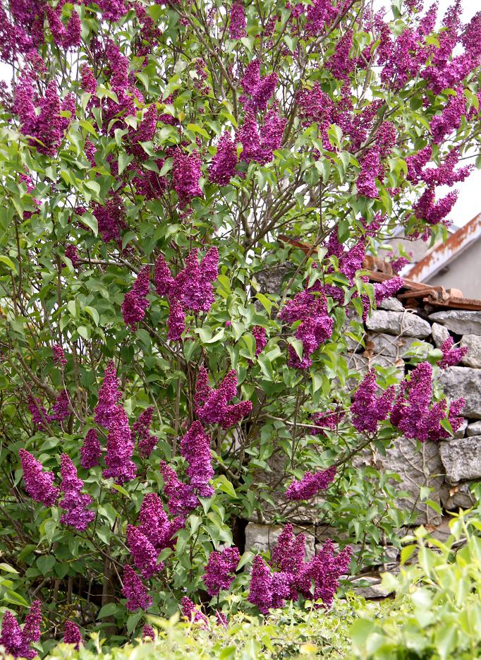 Lilas planter et tailler ooreka - Quand tailler les lilas ...