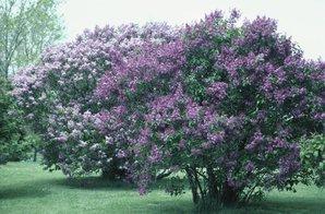 Semis et plantation du lilas