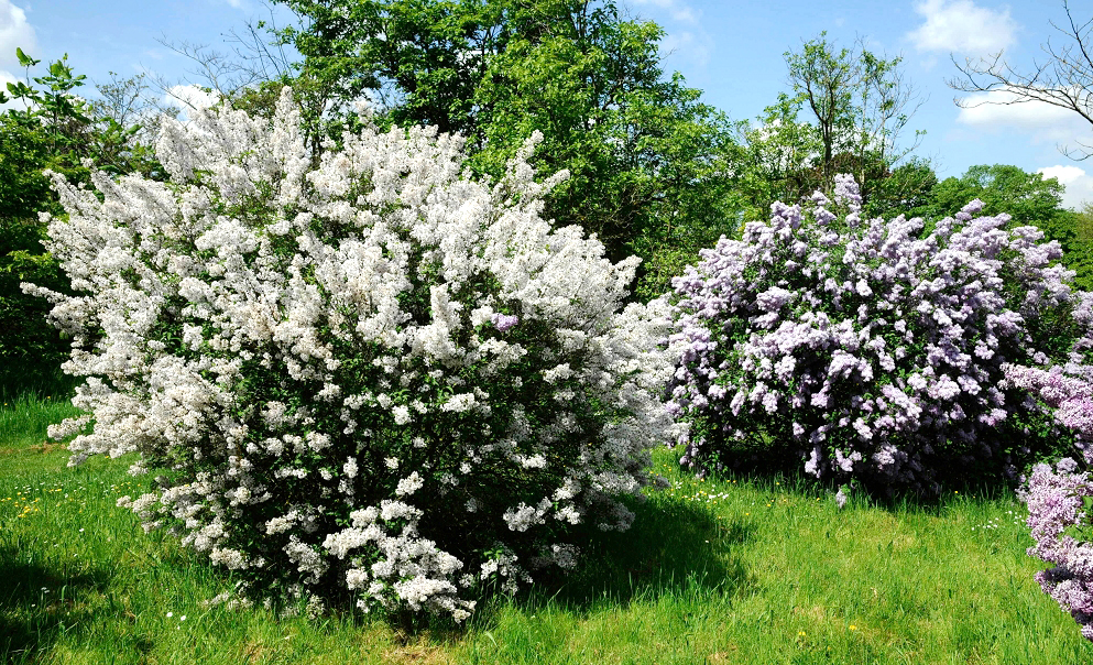 Lilas planter et tailler ooreka - Lilas des indes blanc ...