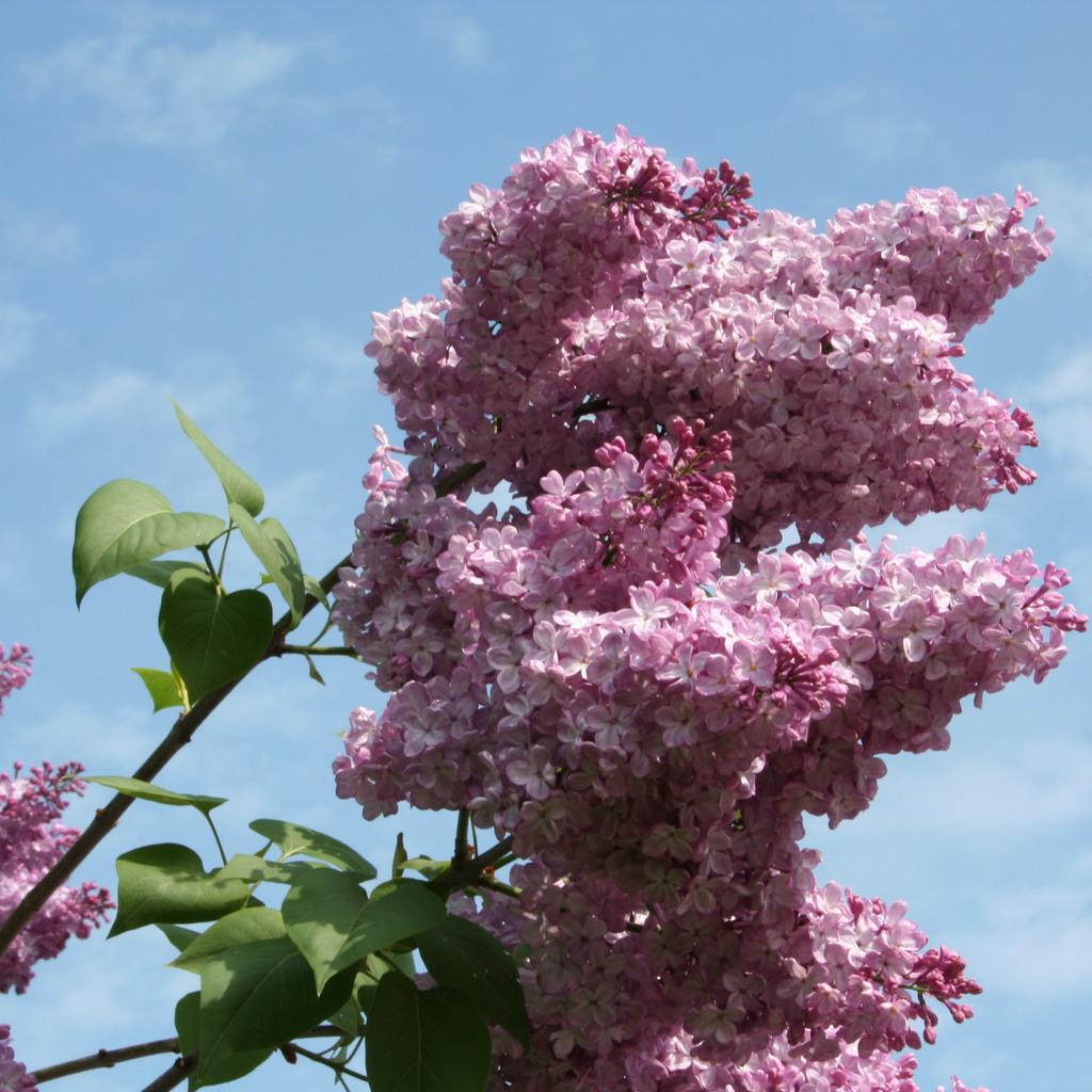 Syringa vulgaris à fleurs doubles 'Belle de Nancy'