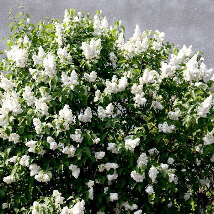 Syringa vulgaris à fleurs doubles 'Madame Lemoine'