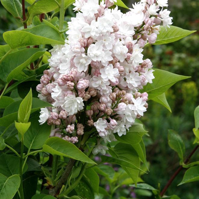 Syringa vulgaris à fleurs doubles 'Belle de Moscou'