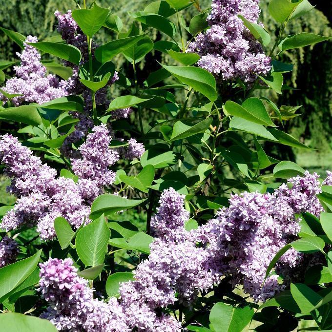 Syringa vulgaris à fleurs simples 'Princesse Studza'