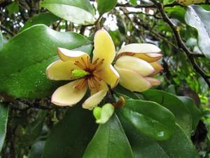 Plantation du <em>Michelia</em>