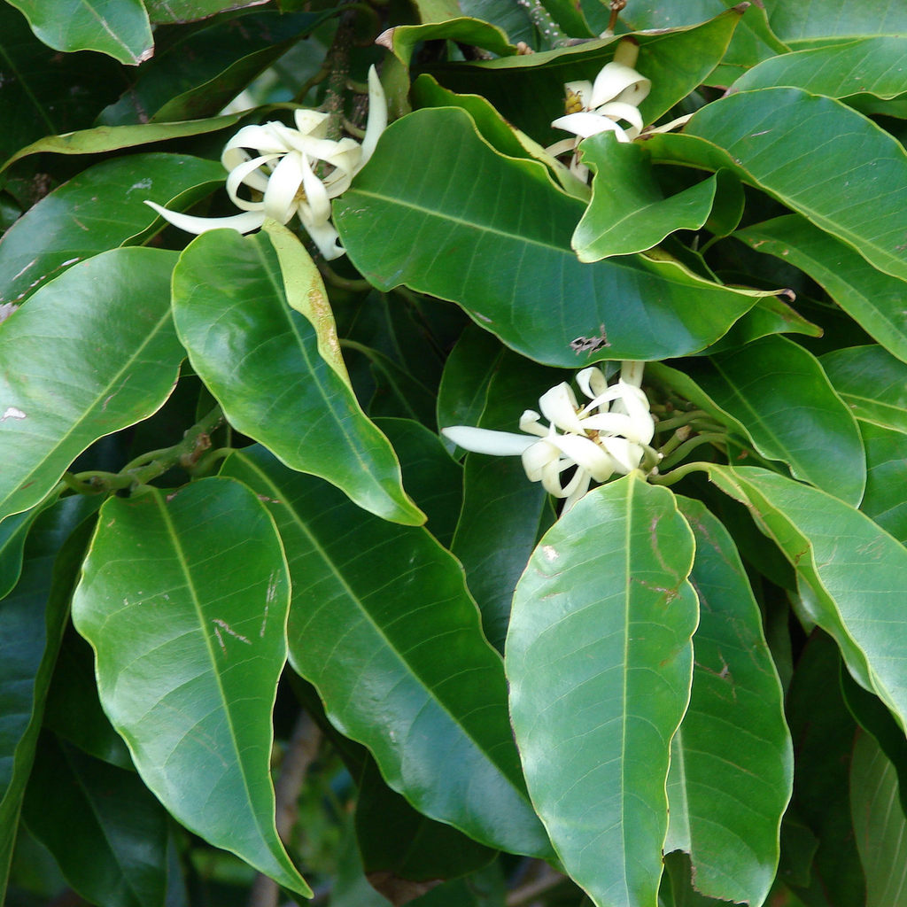 Hybrides ou sélections Michelia x alba