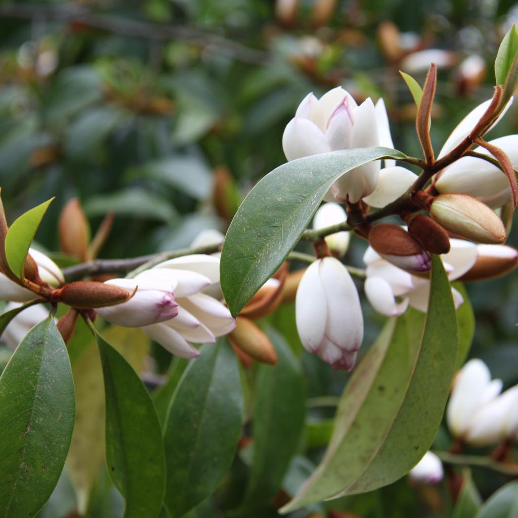Hybrides ou sélections Michelia x. foggii  'Allspice'