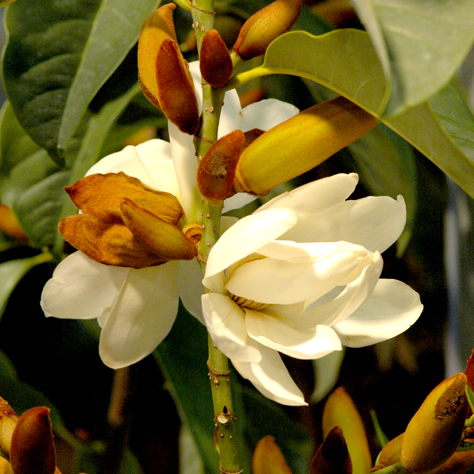 Michelia figo (syn. Magnolia figo) Espèce type