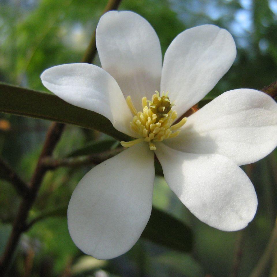 Michelia doltsopa Espèce type