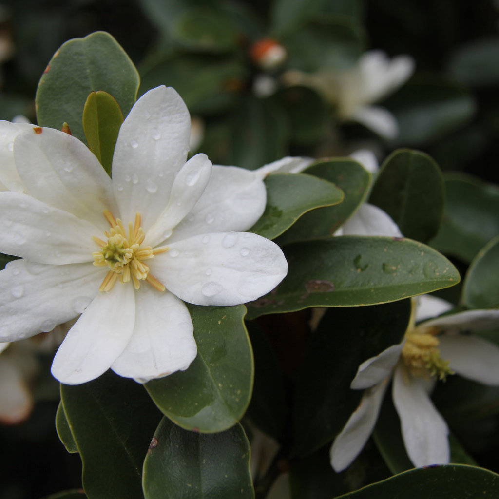 Michelia yunnanensis (syn. Magnolia laevifolia) Espèce type