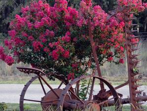 Culture et entretien du lilas des Indes