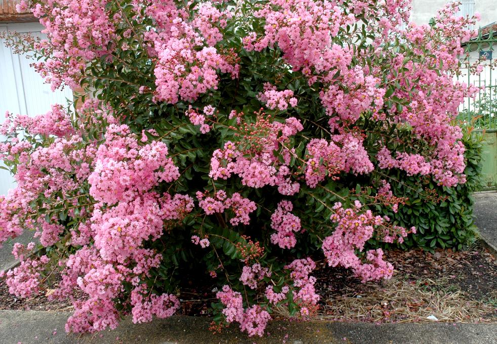 Lilas des indes planter et bouturer ooreka - Lilas des indes blanc ...