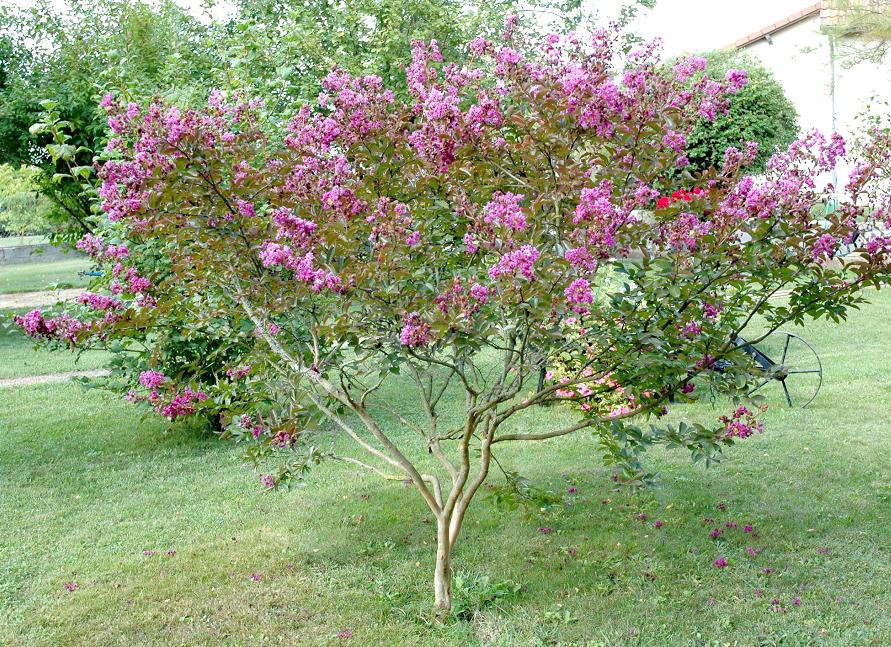 Lilas des indes planter et bouturer ooreka - Le lilas des indes ...