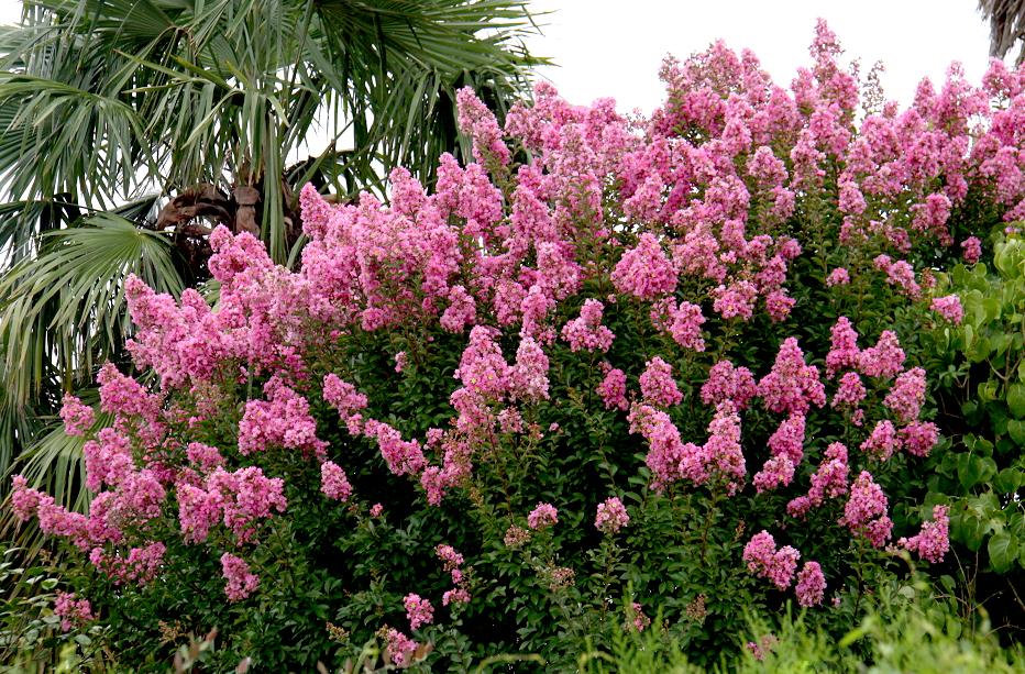 Lilas des indes planter et bouturer ooreka - Quand tailler les lilas ...