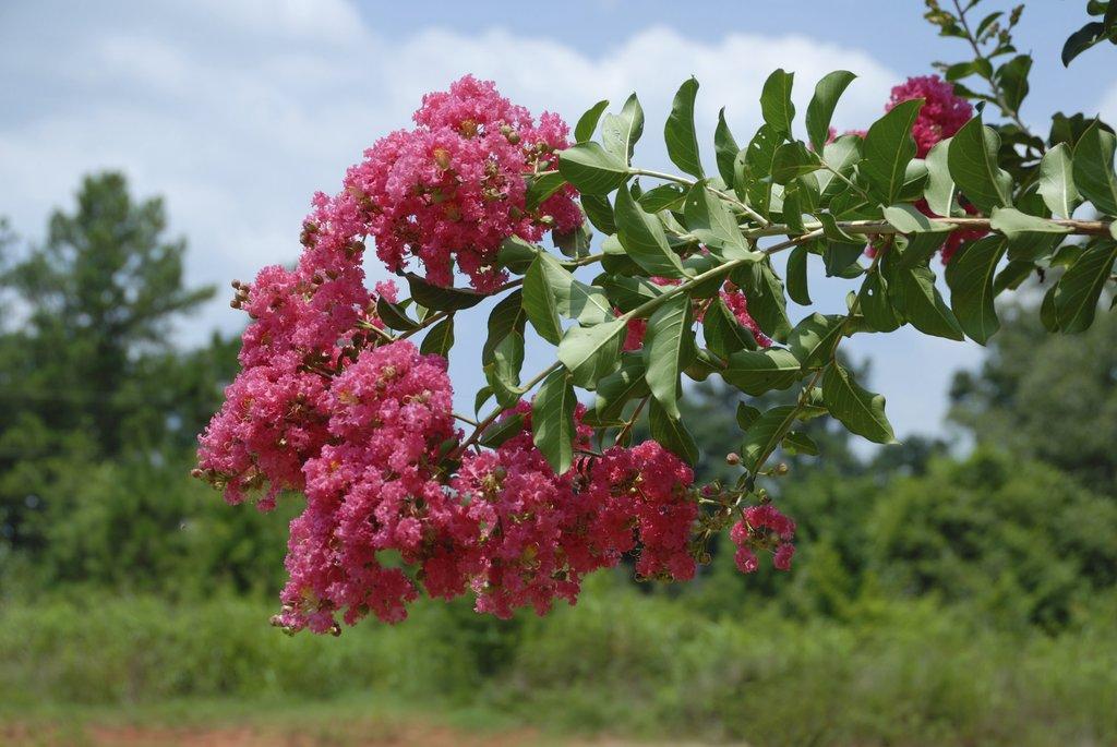 lilas des indes : planter et bouturer – ooreka