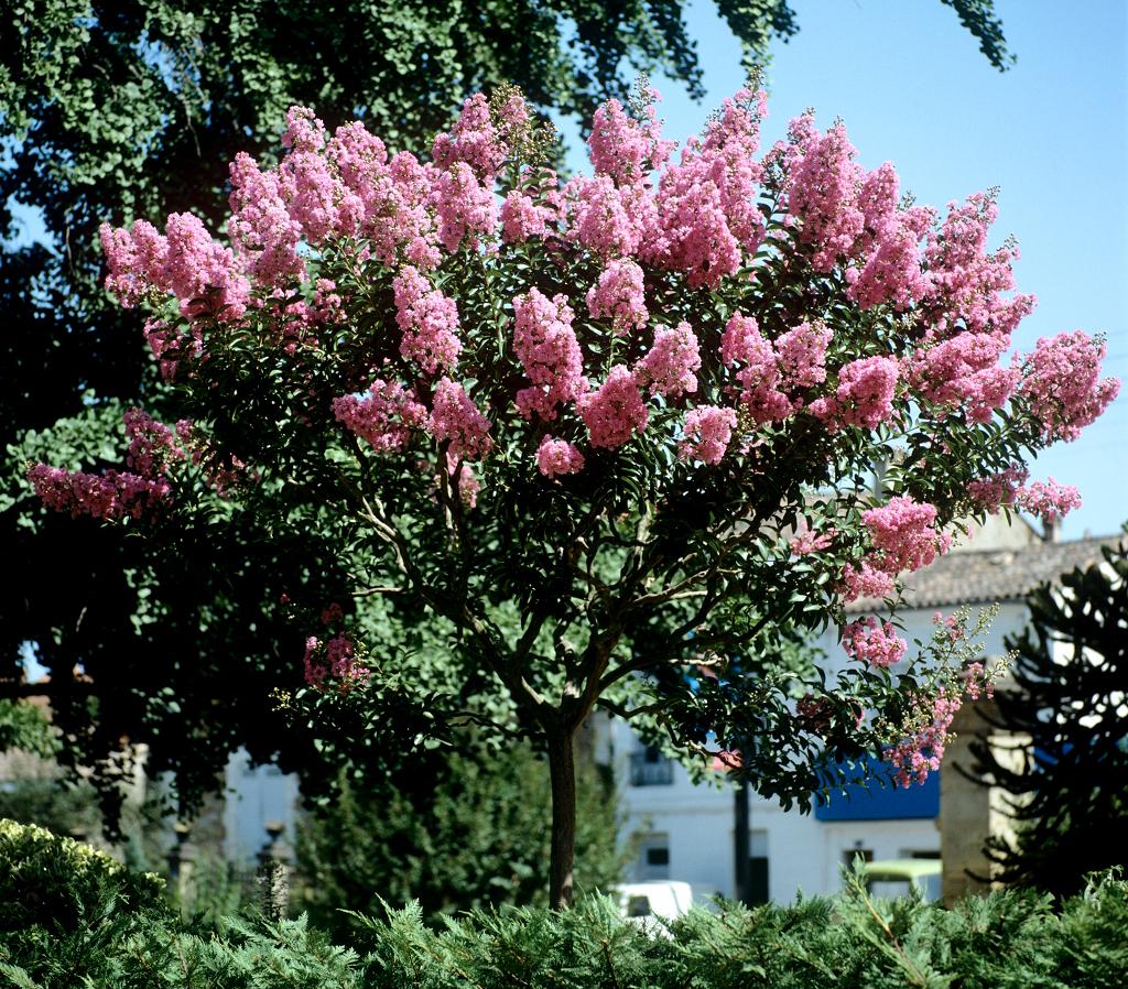 Lilas des indes planter et bouturer ooreka - Taille des lauriers fleurs ...