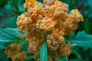 Culture et entretien du quinoa