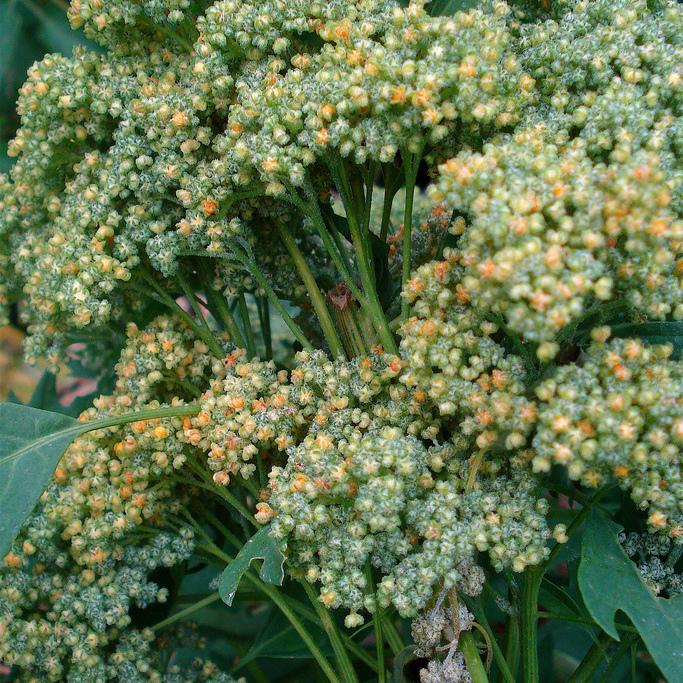 Chenopodium quinoa 'Brightest Brilliant Rainbow'