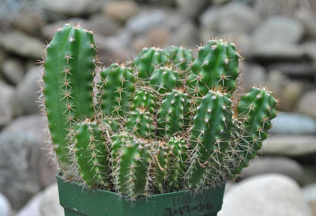 Cactus san pedro planter et entretenir ooreka for Cactus exterieur resistant au froid