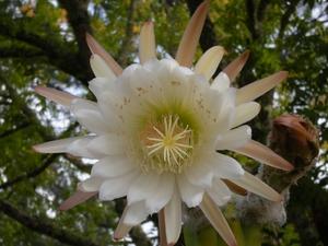 Culture et entretien du cactus San Pedro