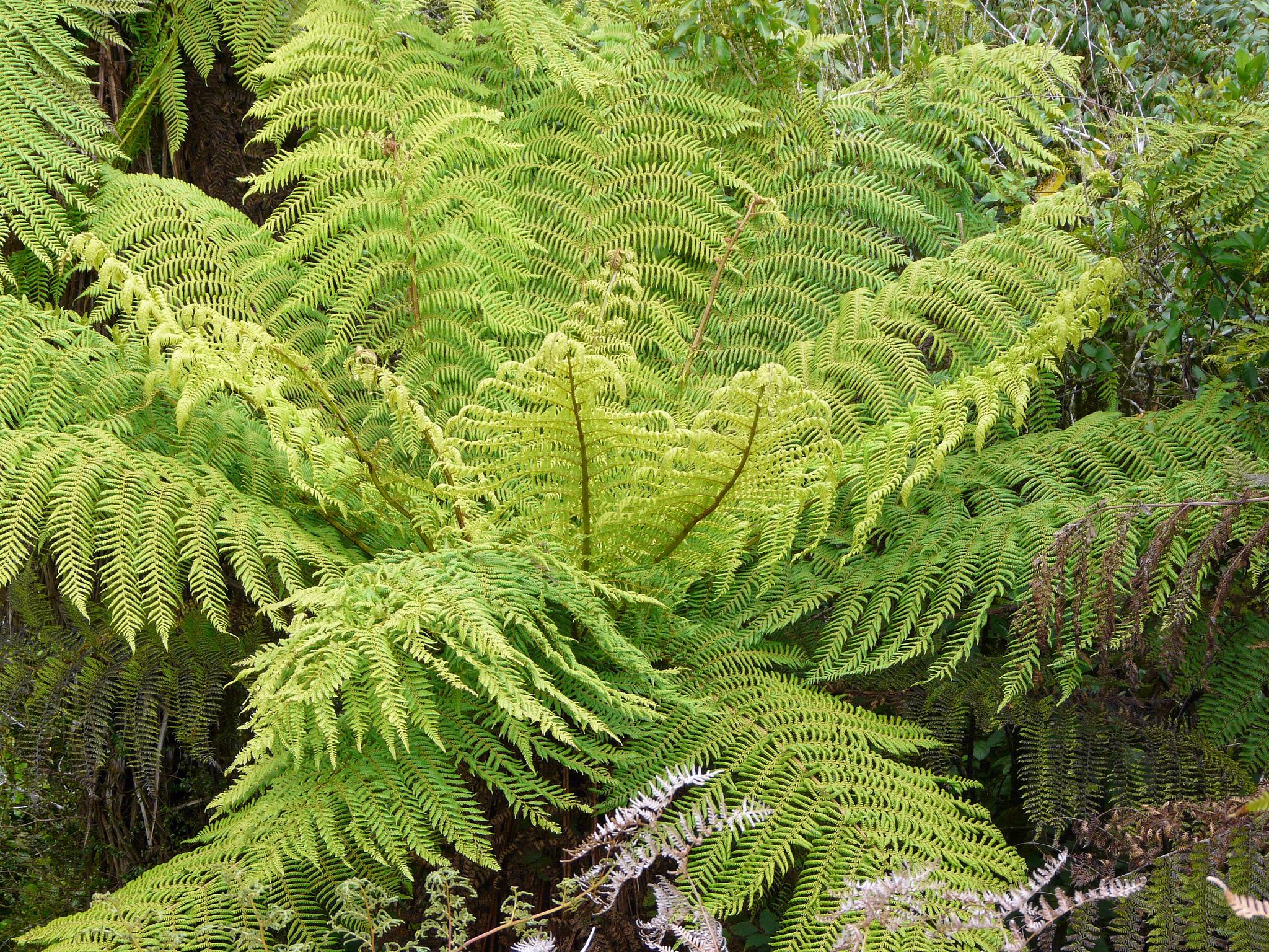 Dicksonia planter et entretenir ooreka for Fushia plante interieur ou exterieur