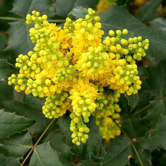 Variétés de petite et moyenne taille par date de floraison Mahonia commun (Mahonia aquifolium)