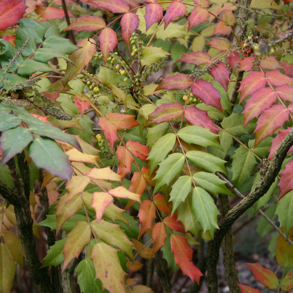 Variétés de petite et moyenne taille par date de floraison Mahonia du Japon (Mahonia japonica)