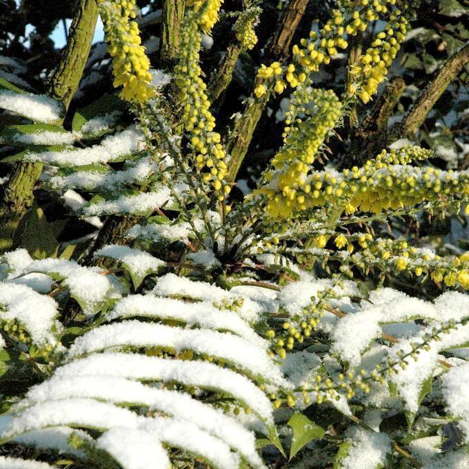 Variétés hautes par date de floraison Mahonia japonica Bealei Grp.