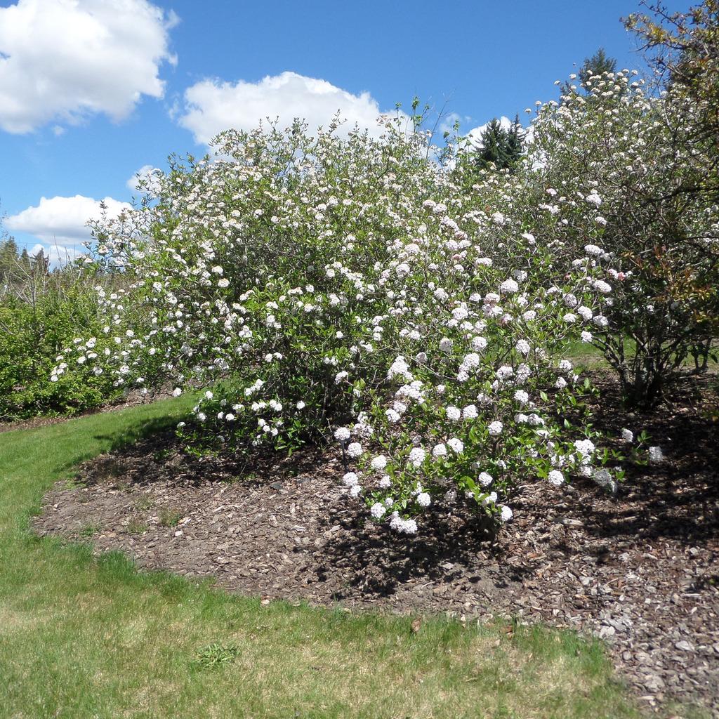 Viburnum x burkwoodii Hybride interspécifique