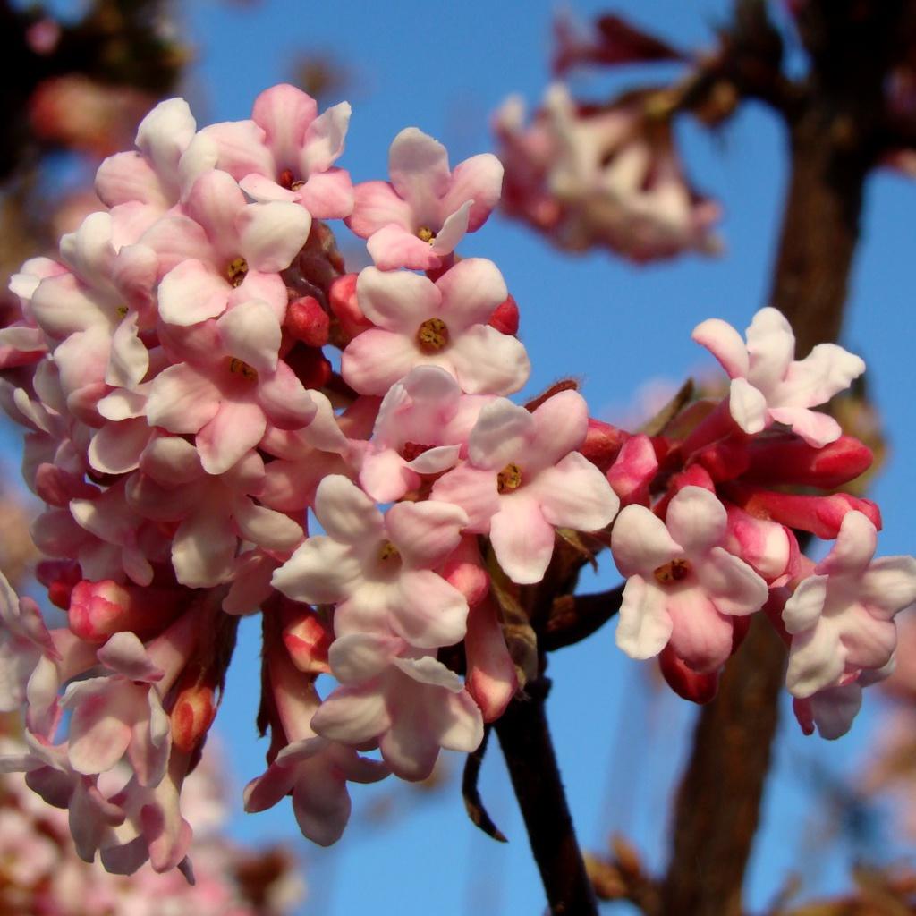 Viorne de Bodnant (Viburnum x bodnantense) Hybride interspécifique