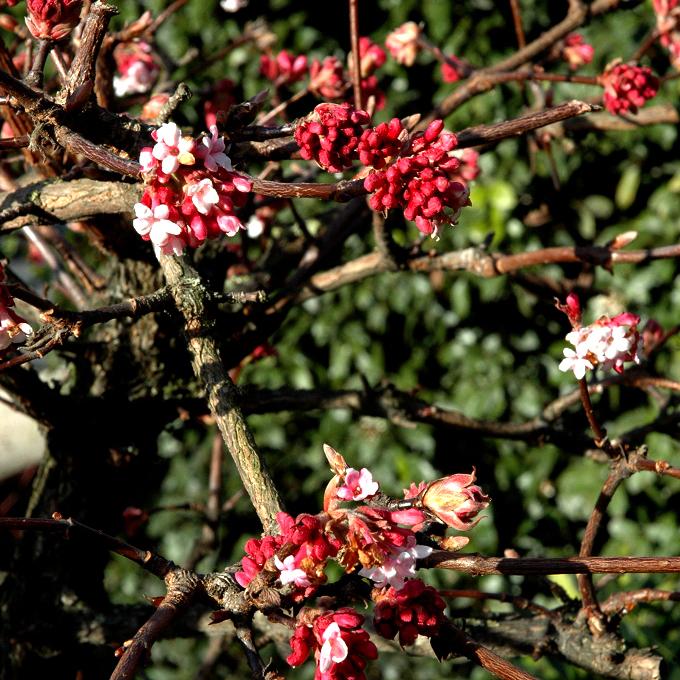 Viorne de Farrer (Viburnum farreri, syn. V. fragrans) Espèce type